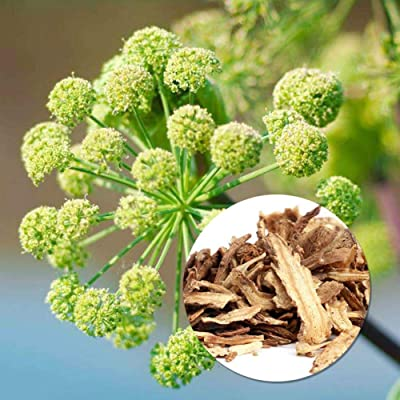 20 Angelica Seeds Medicinal Plant Seed Herb Angelica Sinensis Seeds Vegetable Perennial Seed Plant for Home Garden Pot : Garden & Outdoor