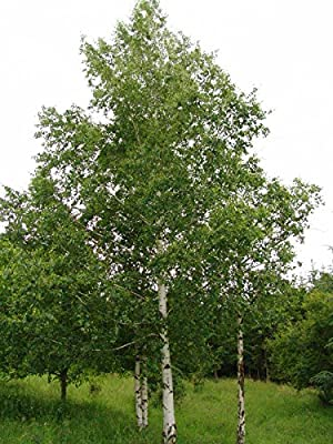 Betula pendula | European White Silver Warty Birch | 50_Seeds