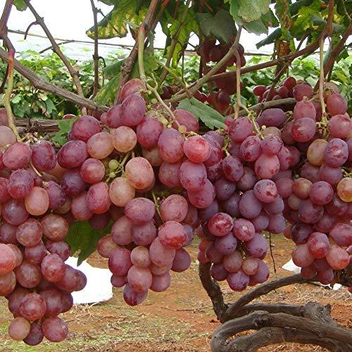 seedless Black Grapes(20 seeds0pcs/bag Delicious Fruit Sweet Grape Seeds Home Garden Easy Planting Seeds (Grape Seeds For Planting)