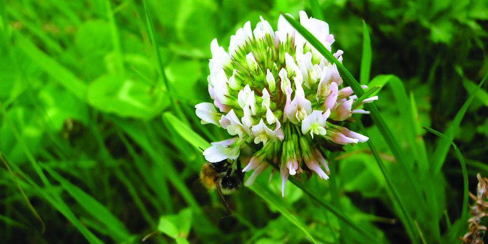 White Dutch Clover Grass Seed (1000 sq ft) by Nature's Seed