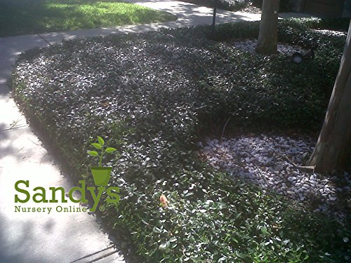 Sandys Nursery Online Jasmine Asiatic Landscape Coverage ~60 Live Plants~ Great for mass planting areas, thick matt of ()