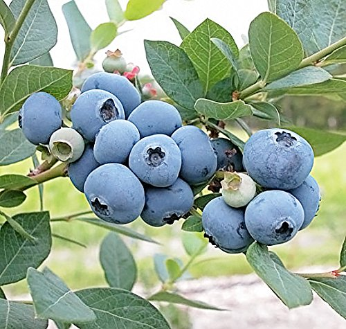 (Sweetheart Blueberry - Trade Gallon Size(.667 Gallons of)