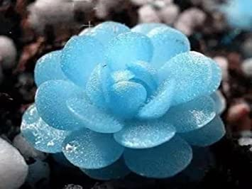 Amazon.com : 150 Seeds Blue Witchford Lithops Seeds Beautiful ...