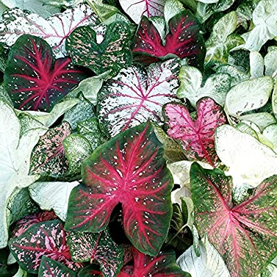 Great Price, (10) Caladium Spectacular Mixed Colors, Elephant Ears, Small Bulbs, Root, Rhizome, Plant, Perennial : Garden & Outdoor