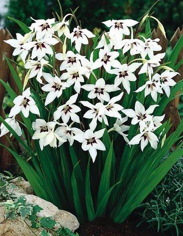 25 Bulbs -fragrant gladiolus, peacock orchid.Acidanthera,Abyssinian lily (Peacock Orchid)