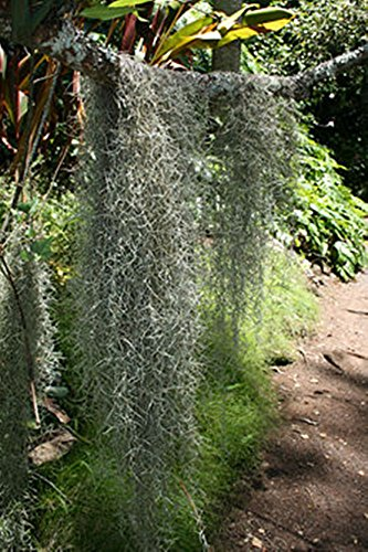 Fresh, Clean Spanish Moss Floral Decoration 28 lb Case by Moss4U (Image #3)