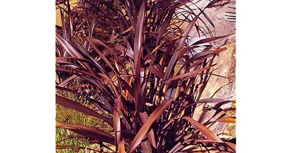 Amazon.com: Purpureum de tenax morado de lino neozelandés ...