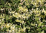 "Scentsation Honeysuckle - Proven Winner - Lonicera - Very Fragrant - 4"" Pot"