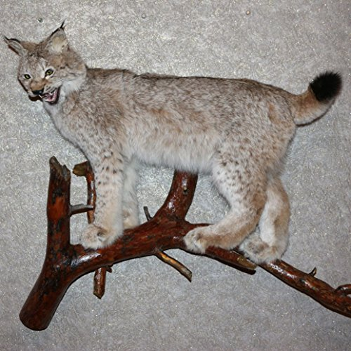 Bobcat Taxidermy Mounts - 4