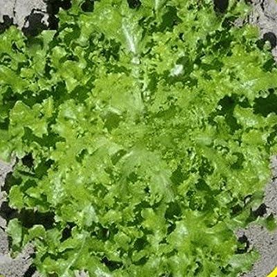 Everwilde Farms - Salad Bowl Lettuce Seeds - Gold Vault