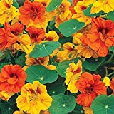 David's Garden Seeds Flower Nasturtium Tom Thumb Mix (Edible) SL6315 (Multi) 50 Non-GMO, Open Pollinated Seeds