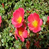 Rock Purslane Ruby Tuesday Flower Seeds (Calandrinia Umbelleta) 200+Seeds