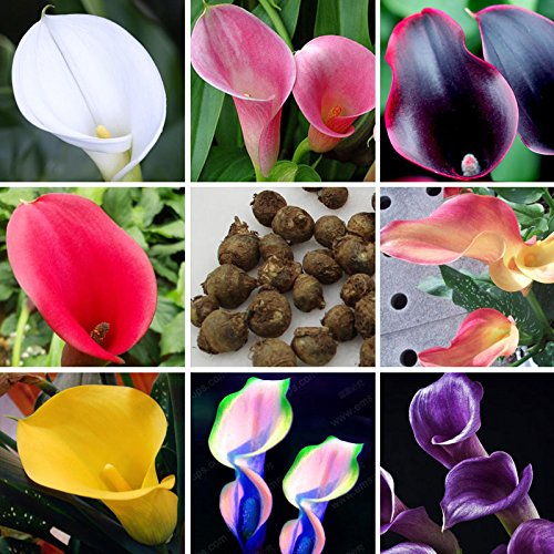 10-pcs-rare-calla-lily-bulbs-potted-balcony-plant-calla-bulbs-indoor-air-purification-radiation-18-c