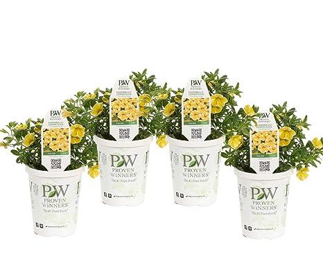 Amazon com : Superbells Lemon Slice (Calibrachoa) Live Plant, Yellow