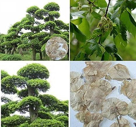 10x Olmo Árbol Semillas chino Árbol Bonsai Ulmus parvifolia Planta Jardín #220: Amazon.es: Jardín