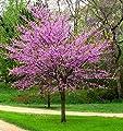 New Life Nursery & Garden / - Eastern Redbud Tree (Cercis), Quart Pot