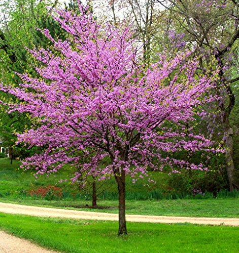 New Life Nursery & Garden / - Eastern Redbud Tree ((Cercis) Quart Pot - Shade Partial Trees