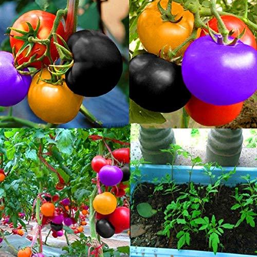(100 pcs Non GMO Heirloom Seeds Rainbow Tomato Plant Seeds Organic Vegetable Seeds For Planting)