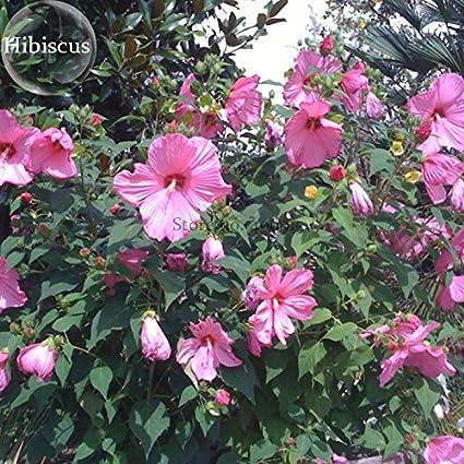 Amazoncom 2018 Hot Sale Perennial Rosemallow Mixed Hibiscus