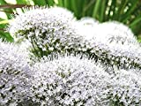 White Throatwort Seeds (Trachelium Caeruleum) (400)