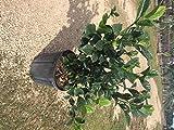 Gardenia jasminoides 'Aimee Yashioka', Cape Jasmine, Gandharaj, Gardenia Augusta - Bush - 4 pack
