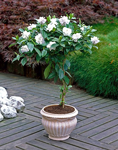 Double Blooming Gardenia Tree - Large Trees, Ready to Bloom 1st Year! - 3-4 ft. by Brighter Blooms (Image #1)