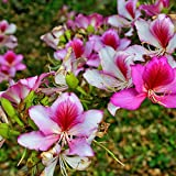 10 Seeds Bauhinia variegata Pink or Variegated Orchid Tree