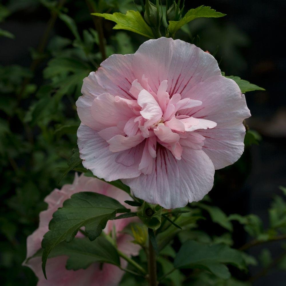Proven Winners 3 Gal. Pink Chiffon Rose of Sharon (Hibiscus) Live Shrub, Light Pink Flowers by Proven Winners