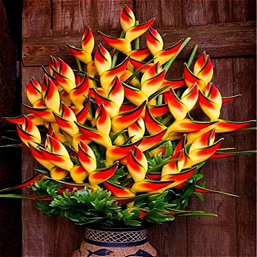Indoor Potted Plant Flower Orange Strelitzia Reginae Seeds Bird Of Paradise Seeds Jardim Bonsai Sementes 100 Particles / Lot Red