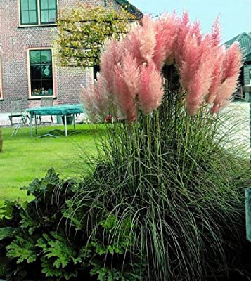 Pink Pampas Grass 200 Seeds - Cortaderia