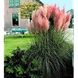 9GreenBoxs: Pink Pampas Grass 200 Seeds - Cortaderia