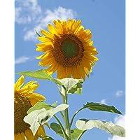 David's Garden Seeds Sunflower Mammoth Grey Stripe OS519 (Yellow) 50 Non-GMO, Open Pollinated Seeds