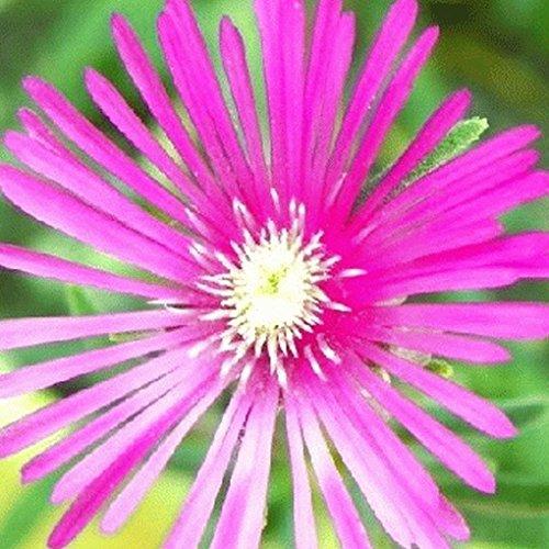 2000 Livingston Daisy Ice Plant Wildflower - Stores Livingston