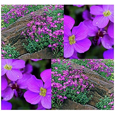 4 Packs x 300 Purple Rockcress - Aubrieta deltoidea Seeds - Purple OR Blue Flowers for Gorgeous Ground Cover & Rock Garden - Perennial Hardy Zones 4 to 8 - by MySeeds.Co : Garden & Outdoor