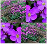 300 Purple Rockcress PERENNIAL - Aubrieta deltoidea - GORGEOUS GROUND COVER & FOR Rock Garden, Seeds - COLD Hardy ZONES 4 To 8