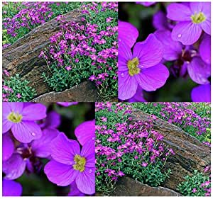 Amazon Com 300 Purple Rockcress Perennial Aubrieta