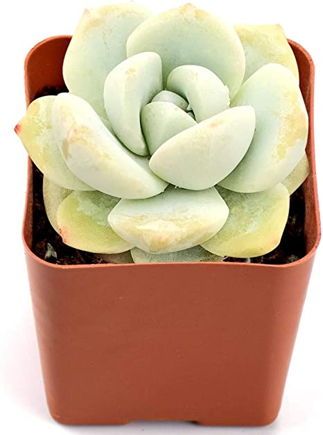 Amazon Com Succulent Plants Echeveria Ice Green Fully Rooted