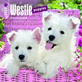 West Highland White Terrier Puppies 2017 Mini 7x7