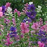 Marble Arch Mix II Salvia Seeds (Salvia viridis) 20+ Rare Culinary Herb Seeds