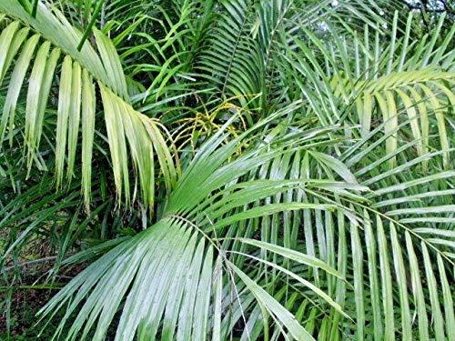 20 Hardy Bamboo Palm Seeds - Chamaedorea ()