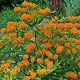 Asclepias - Butterfly Weed Flower Garden Seeds - 500 Seeds - Perennial Gardening Blooms - Asclepias tuberosa