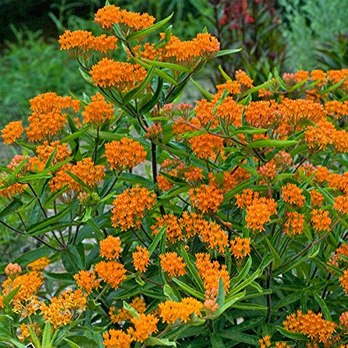 Asclepias - Butterfly Weed Flower Garden Seeds - 500 Seeds - Perennial Gardening Blooms - Asclepias tuberosa by Mountain Valley Seed Company