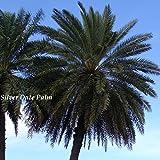 10+ Silver Date Palm seedlings Phoenix sylvestris Cold Hardy Landscape Palm Tree