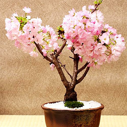 anese Sakura Seeds Indoor Cherry Blossom Bonsai Flower Sakura Tree DIY Seeds of Perennial Garden Flowers ()