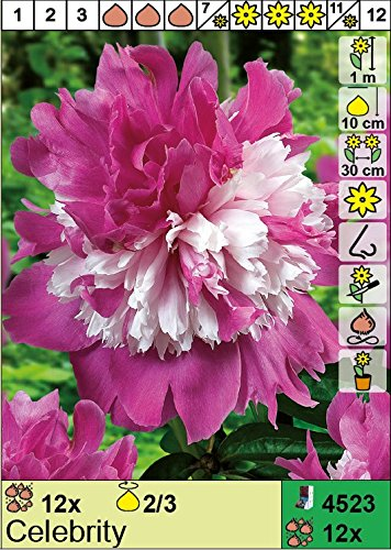 Pfingstrose Celebrity Paeonia lactiflora