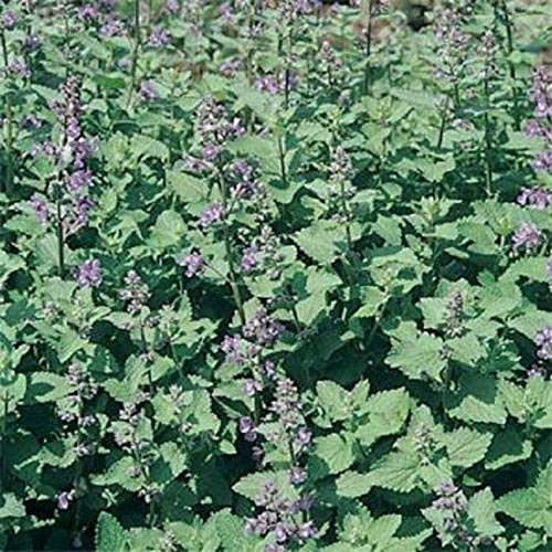 400 Catnip This is Herb is Irresistible to Cats and Bees Seeds by iniloplant