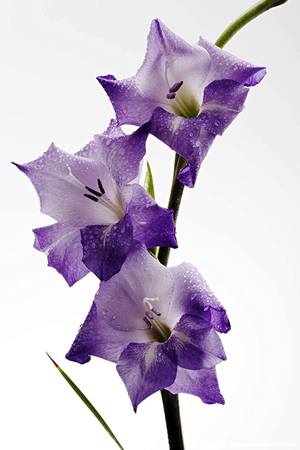 10 x Charming Gladioli 'Nori' (Corm) (Purple Gladiolus to Plant at Home) Free UK Postage Cambridge Farmers Outlet