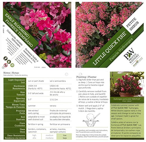Little Quick Fire Hardy Hydrangea (Paniculata) Live Shrub, White to Pink Flowers, 1 Gallon by Proven Winners (Image #2)