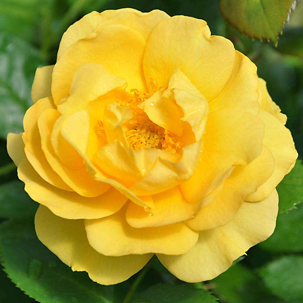 Julia Child Butter Gold 1 Gallon Rose Floribunda Plant Roses Hardy Zones 5-9 Now by Heirloom Roses (Image #1)