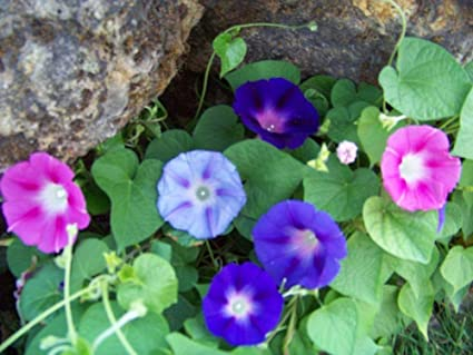Amazon com : Morning Glory Dwarf Ensign Mix 25 Seeds GroCo : Garden
